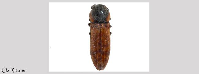 Acmaeodera bernardi
