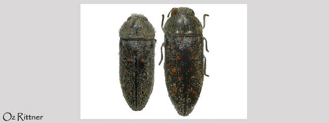 Acmaeodera brevipes saducaea