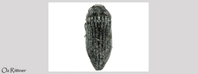 Acmaeodera elevata
