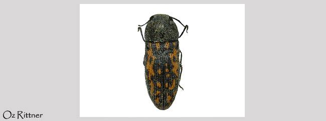 Acmaeodera macchabaea