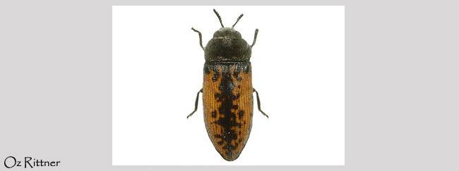 Acmaeodera pilosellae syriaca