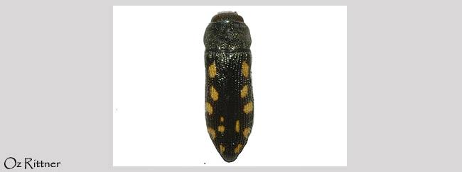 Acmaeodera saxicola