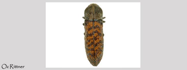 Acmaeoderella adspersula squamiplumis
