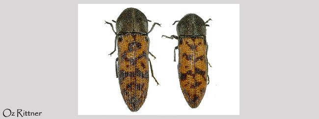 Acmaeoderella arabica