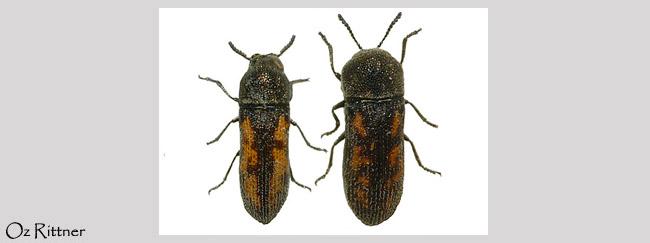 Acmaeoderella despecta