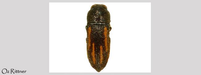 Acmaeoderella levantina