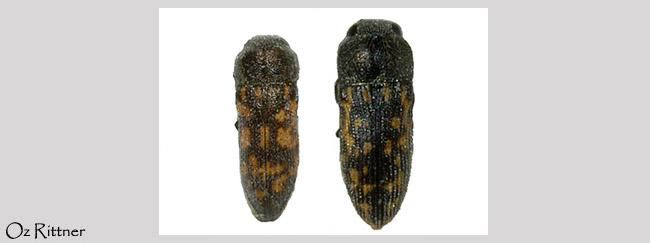 Acmaeoderella maculipennis