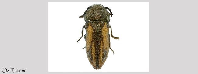 Acmaeoderella sefrensis