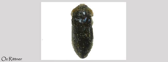Acmaeoderella villosula