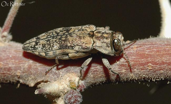 Agrilus desertus
