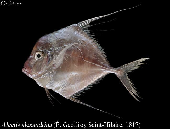 Alectis alexandrina