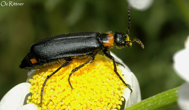 Alosimus brevicornis