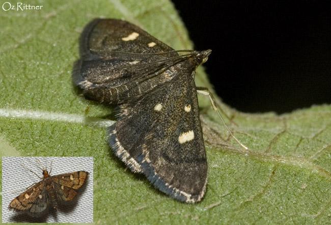 Amaurophanes stigmosalis