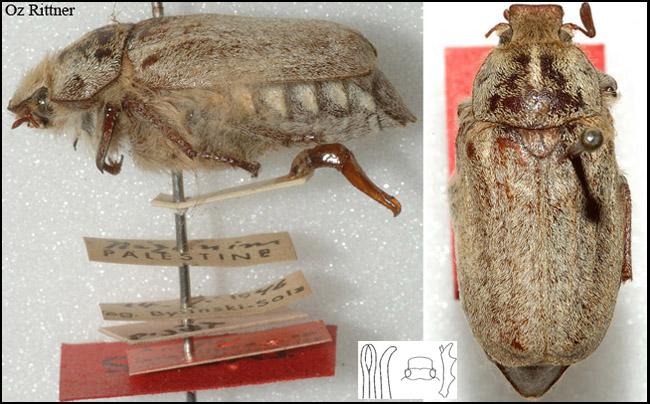 Anoxoides bytinskisalzi