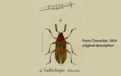 Arrhaphipterus blanchei Orig Des