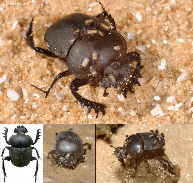 Ateuchetus puncticollis