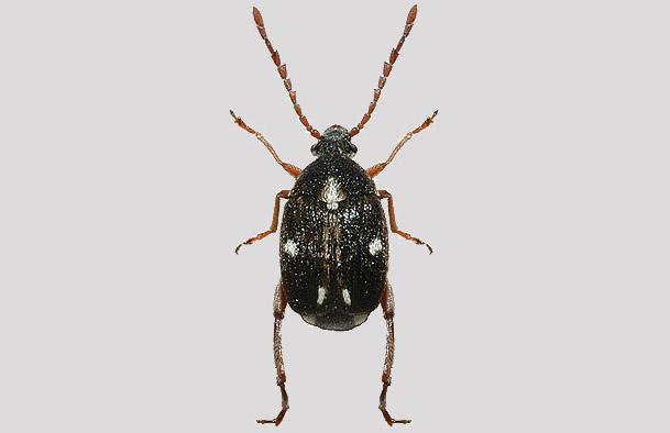 Bruchidius albopictus
