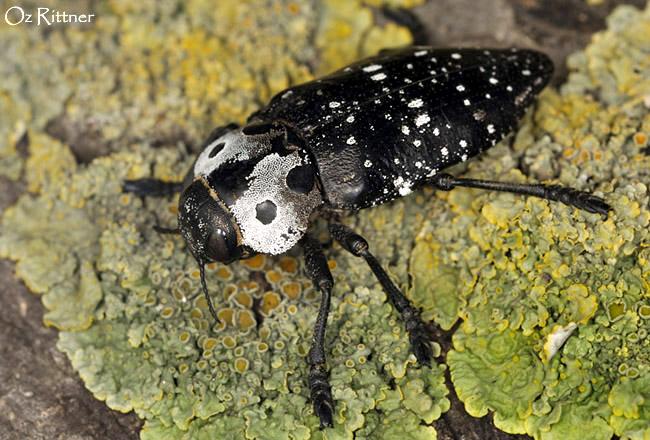 Capnodis carbonaria