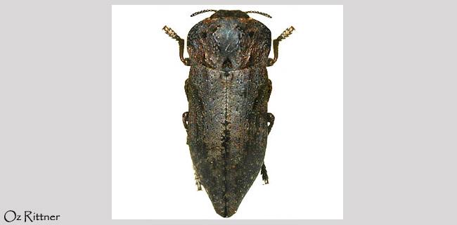 Capnodis semisutiralis