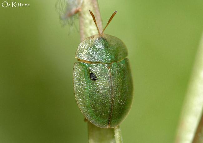 Cassida palaestina Adult