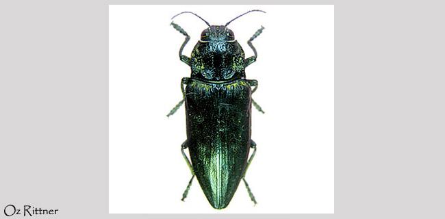 Chalcophora detrita
