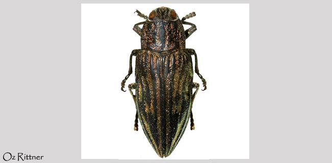 Chalcophora mariana