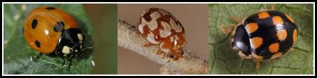 Coccinelidae