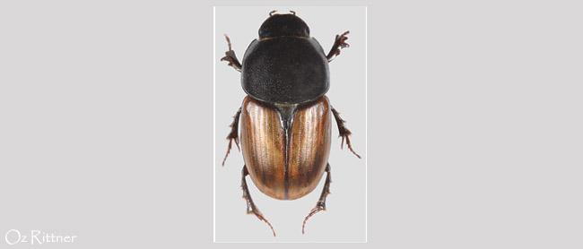 Colobopterus erraticus