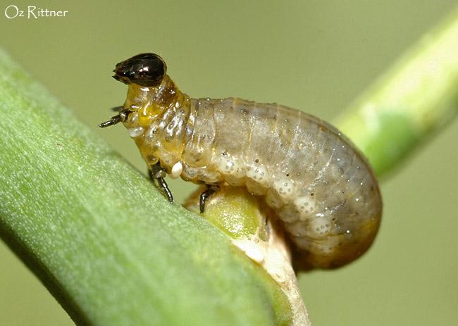 Crioceris asparagi Larva