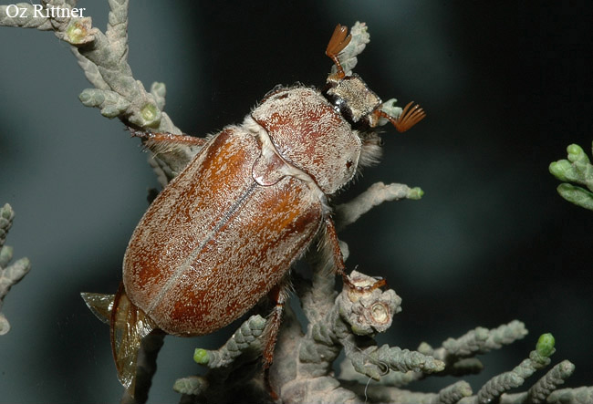 Cyphonoxia praestabilis