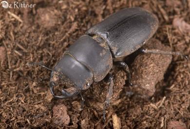 Dorcus paralelippipedus 1