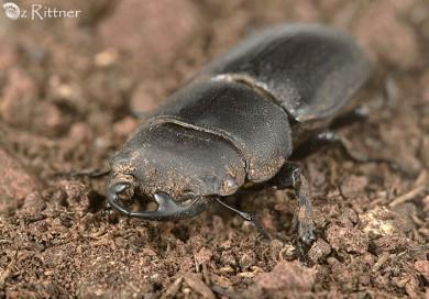 Dorcus paralelippipedus 2