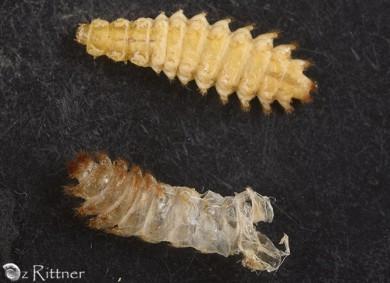 Drilus larva S2