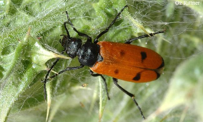 Euzonitis quadrimaculata