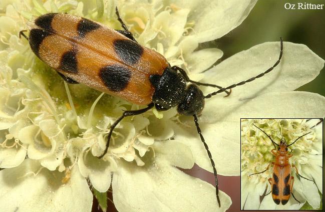 Euzonitis sexmaculata