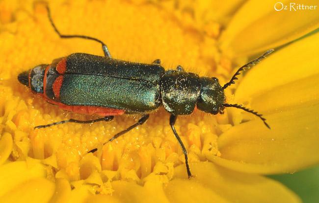 Haplomalachius flabellatus