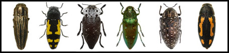 Hebrew Buprestidae