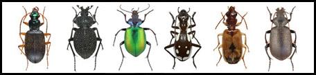 משפחת הרצניתיים Carabidae