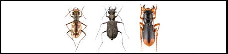 רצניתיים - תת משפחה גדיתיים Cicindelinae