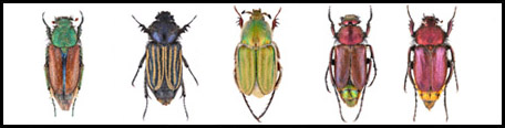 Hebrew Glaphyridae