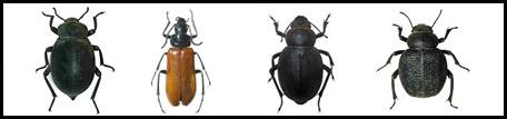 משפחת השחאוריתיים Tenebrionidae