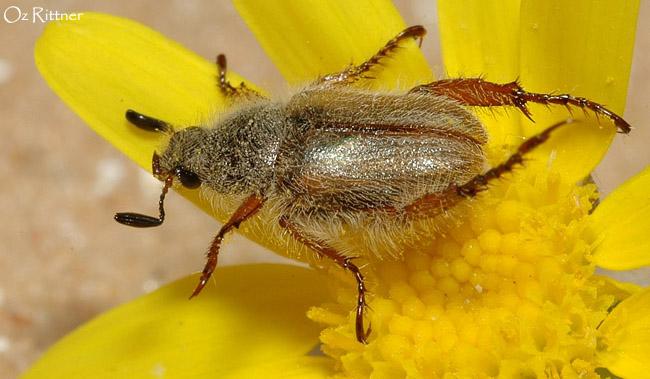 Hemichaetoplia gossypiata
