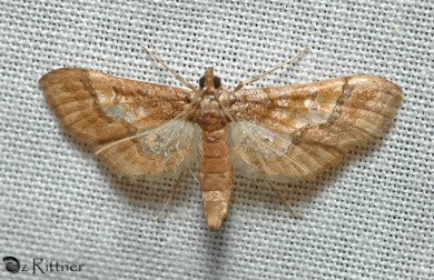 Hydriris ornatalis