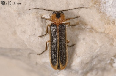 Lampyroidea syriaca