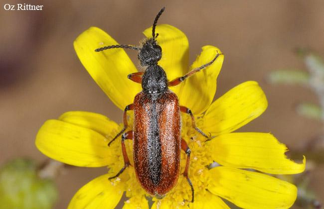 Lyttolydulus simplicicornis