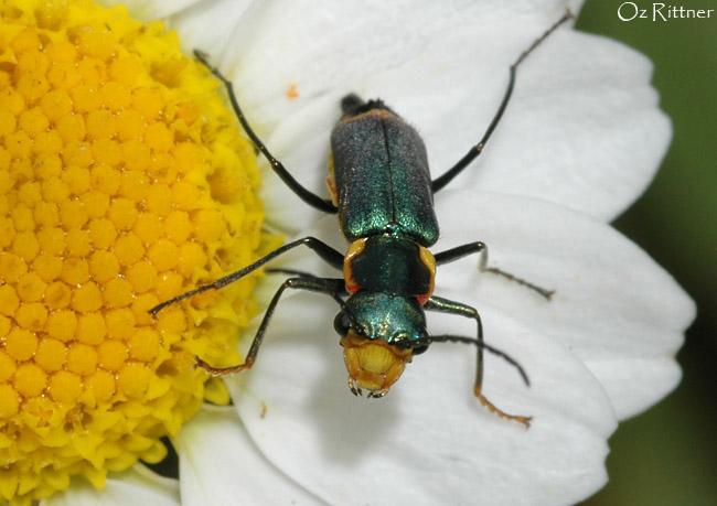 Malachius bipustulatus