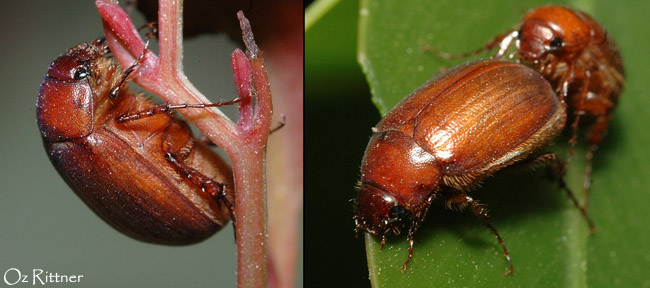 Maladera modesta