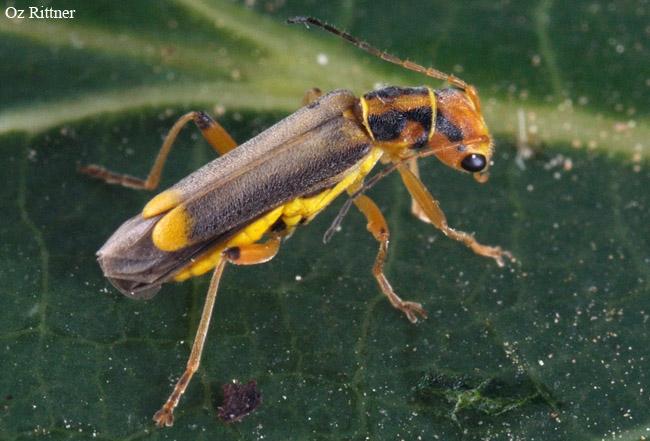 Malthinus conspicuus