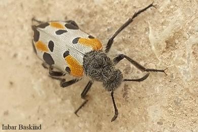 Mylabris Hycleus quatuordecimpunctata