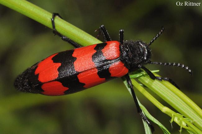 Mylabris syriaca